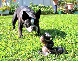 Can A Brown Snake Kill A Dog